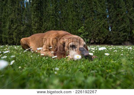 A Cute Dog In A Chamomile Field