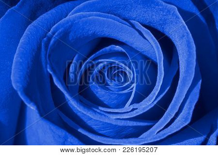 Blue Rose Background, Macro Shot Of Fresh Rosa For Symbol Of Love, Prosperity, Or Immortality Concep