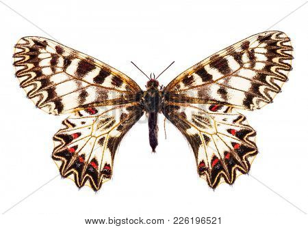 Southern festoon butterfly (Zerynthia polyxena) isolated on a white background