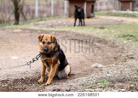 Sad Dog On Chain. Life In The Animal Shelter.
