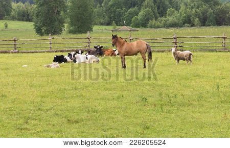 Domestic Rural Mammals Are Grazed On The Green Field In Summer Day Behind A Wooden Fence. Horse, Cow