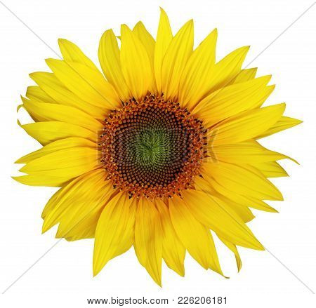 Single Beautiful Sunflower Without Leaves Isolated On A White Background. Nice Flower For Packing Of