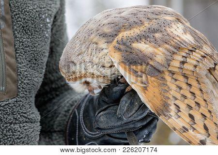Feeding The Eurasian Tawny Owl, Strix Aluco, In The Woods In The Winter. Eurasian Tawny Owl Takes He