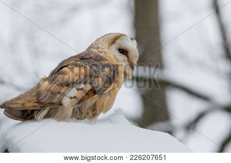 Eurasian Tawny Owl, Strix Aluco, In The Winter Forest Near The Old Cemetery Sitting On The Stone.. C