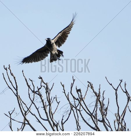 Crow Flying With Wings Spread Wide Over Tree With Bare Branches