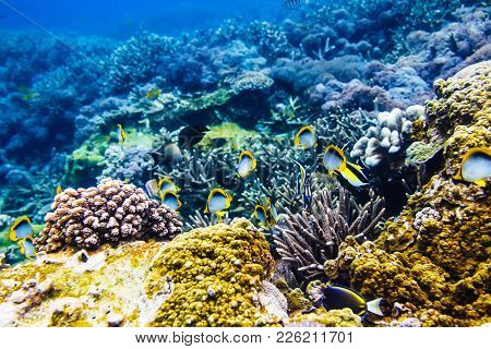 Tropical Yellow Bright Fish And Corals On Reef In Indian Ocean.