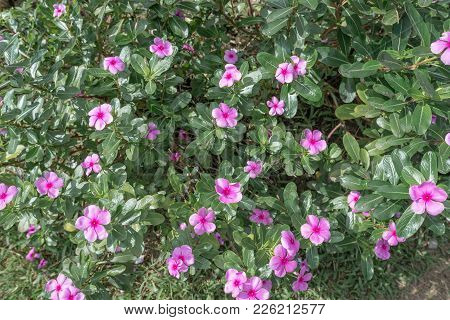 Full Of Pink Flower In The Garden With Leaf For Decoration, Thailand Garden