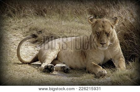 Lioness In The Wild Sabana In Africa