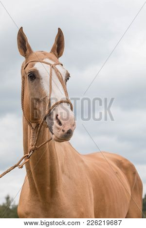 Portrait Red Horse With Blue Eyes In Leatter Wattled Bridle Harness