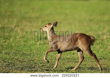 Juvenile Of Eld's Deer (panolia Eldii) Also Known As The Thamin Or Brow-antlered Deer, Is An Endange