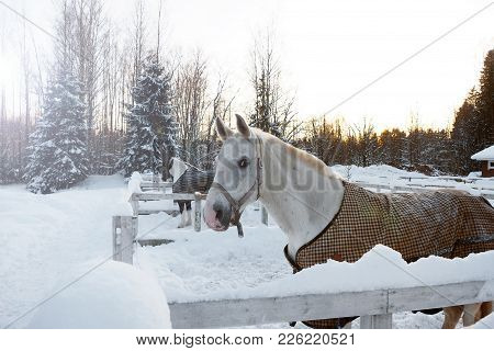 White Horse In Winter At Sunset. Beautiful Face Horse Thoroughbred On The Background Of Snowy Forest