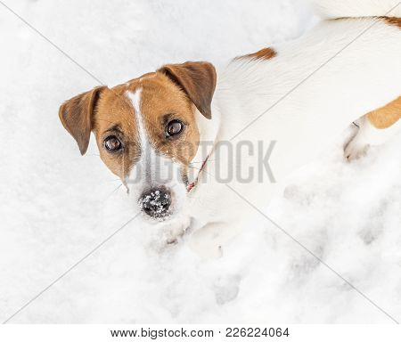 A Small Dog Jack Russel Terrier Playing In Snow And Looking Into Camera. Cute Doggy Portrait In Wint