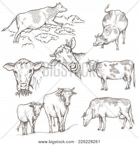 Set Of Bulls. The Cow Is Coming, The Cow Is Standing, The Portraits Of Bulls, On The Pasture. Vector