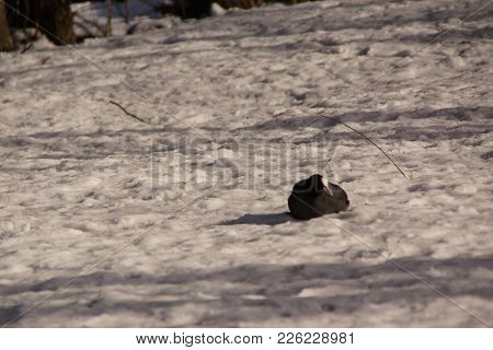 A Black Pigeon In The Rest In The Snow In The Sun. Outdoor Shooting, In Winter Season In The Day. It