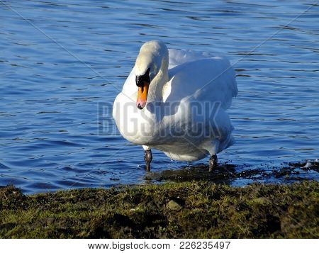 Mute Swan As Seen On A Sunny Late Winter Day