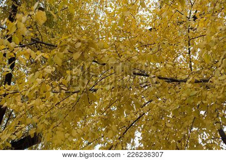 Yellow Leaves Of Elm In Late Autumn