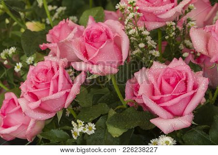 Pink Wedding Rose, Persia Species, Arranged In A Wedding Bouquetใ