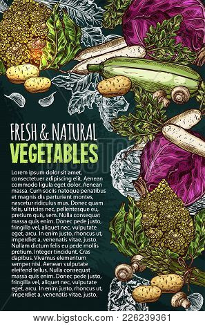 Vegetables And Natural Fresh Veggies Sketch Poster For Farm Market. Vector Cabbage, Potato And Cucum