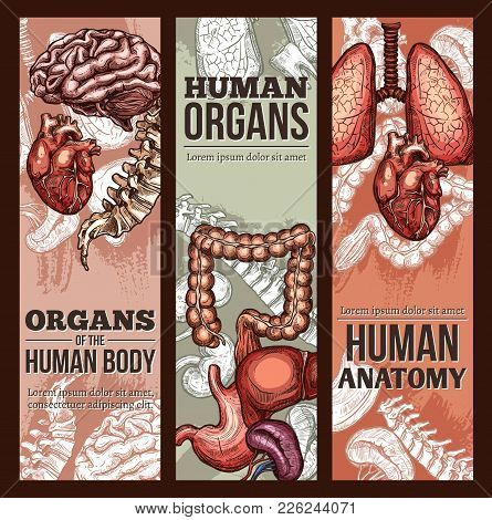 Human Organs Anatomy Medical Sketch Poster. Vector Respiratory, Digestive And Cardiovascular System