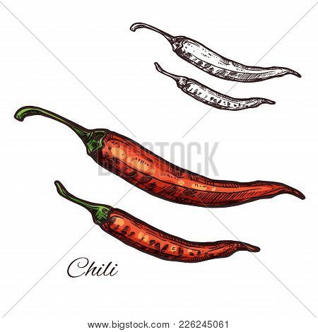 Chili Pepper Seasoning Spice Herb Sketch Icon. Vector Isolated Red Chile Pepper Pod Or Jalapeno Plan