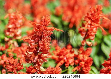 Close Up Salvia Splendens Or Red Salvia Blooming In The Garden