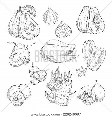Exotic Tropical Fruits Sketch Icons. Vector Isolated Set Of Guava, Figs Or Papaya And Avocado, Feijo