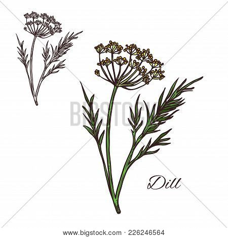 Deal Seasoning Spice Herb Sketch Icon. Vector Isolated Dill Plant For Culinary Cuisine Cooking Or Fl