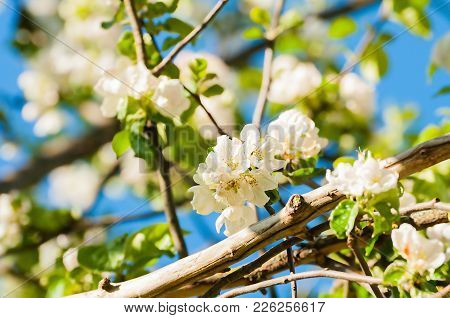 Spring Flowers Of Blooming Apple Tree. Spring Landscape With White Spring Apple Flowers Under Spring