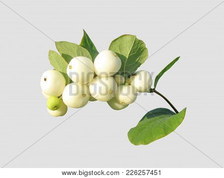 Symphoricarpos Albus,on An Isolated Gray Background .
