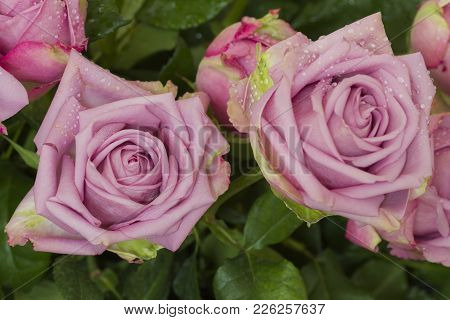 Puple Weding Rose, Cool Water Species, Decorate In Wedding Party.