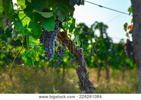 Close-up Of Bunches Of Black Grapes On Vine, Bright Blurred Background, Copy Space.
