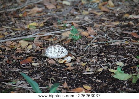 White Puffy Mushroom Growing On The Forest Floor