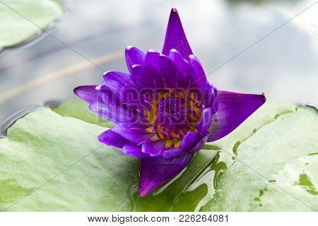 Close-up A Beautiful Purple Waterlily Or Lotus Flower.