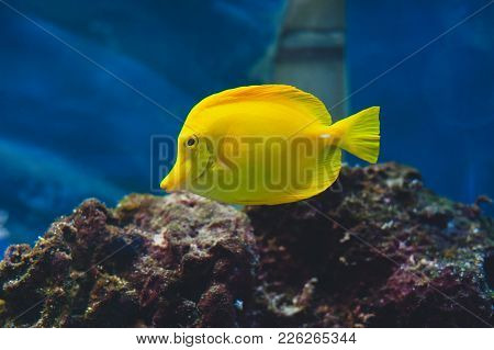 The Yellow Tang (zebrasoma Flavescens) Is A Saltwater Fish Species Of The Family Acanthuridae. Popul
