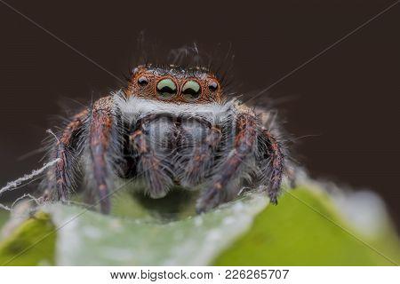 Super Macro Jumping Spider Or Carrhotus Viduus On Leaf