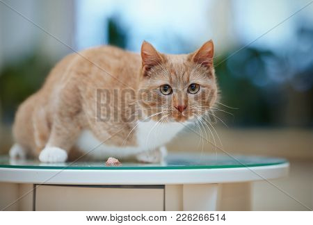 The Striped Frightened Red Domestic Cat On The Table