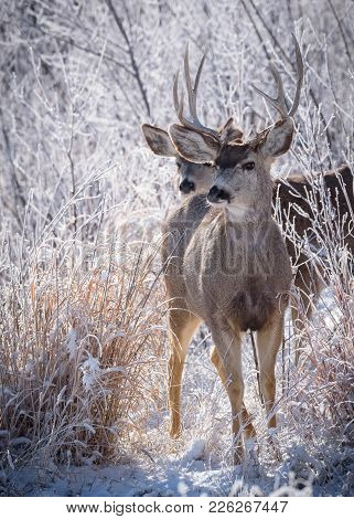 Wild Deer On The High Plains Of Colorado - Two Mule Deer Greet The Winter Morning