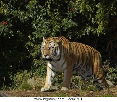 Siberian Tiger Walking Out Of Bushes