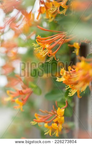 Fence Of Orange Honeysuckle In The Spring Time