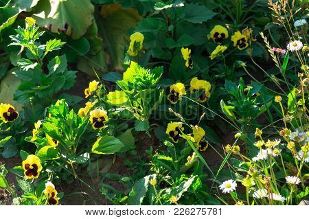 Yellow Viola Flowers In The Sunny Garden