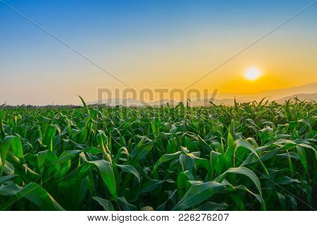 Landscape Of Young Green Corn Field At Thailand Agricultural Garden And Light Shines Sunset In The E