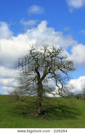 The Springtime Oak