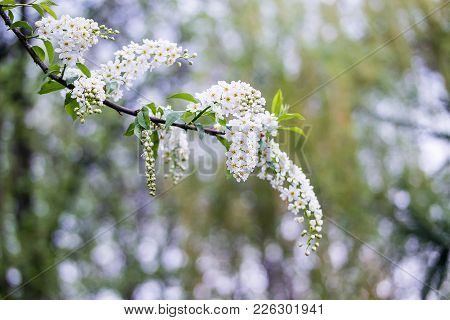 Blossoming Tree Brunch With White Flowers On Bokeh Green Background.