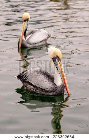 Brown pelican (Pelecanus occidentalis) in Peru