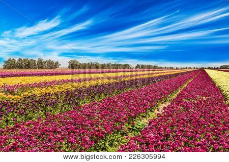 Cirrus clouds fly in the blue sky. Flowers are planted with stripes of different colors. The field of flowering garden buttercups. Concept of rural, agritourism and ecological tourism