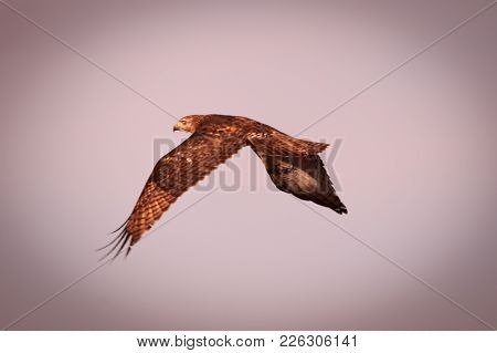A Red Tailed Hawk In Flight Over Fairmont, Oklahoma 2018