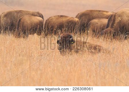 American Bison Roaming The Grasslands Of The Tallgrass Prairie Preserve Located In Pawhuska, Oklahom