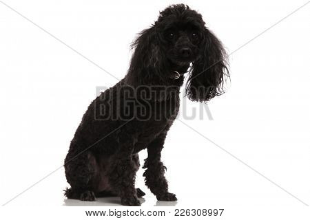 black poodle sitting on a white background