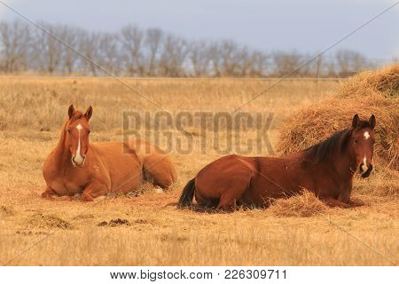 A Couple Of Horses Lying Down In Oklahoma 2018