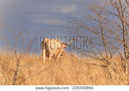 A Female Longhorn Roaming The Grasslands Of The Tallgrass Prairie Preserve Located In Pawhuska, Okla